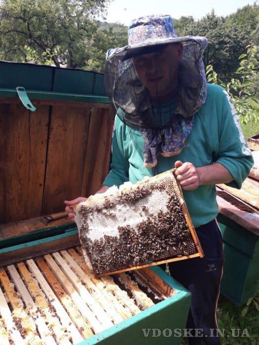 Пчелиные матки. Бджоломатки (5)