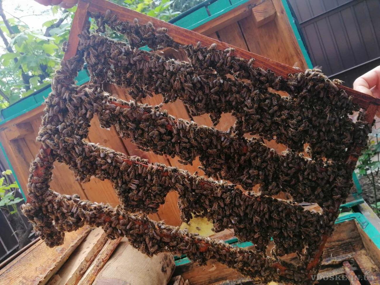 Пчелиные матки. Бджоломатки (2)