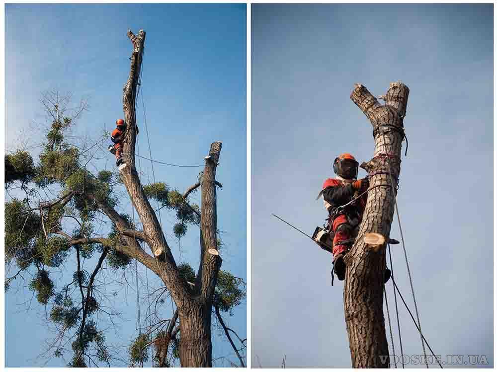 Обрезка деревьев в Харькове (2)
