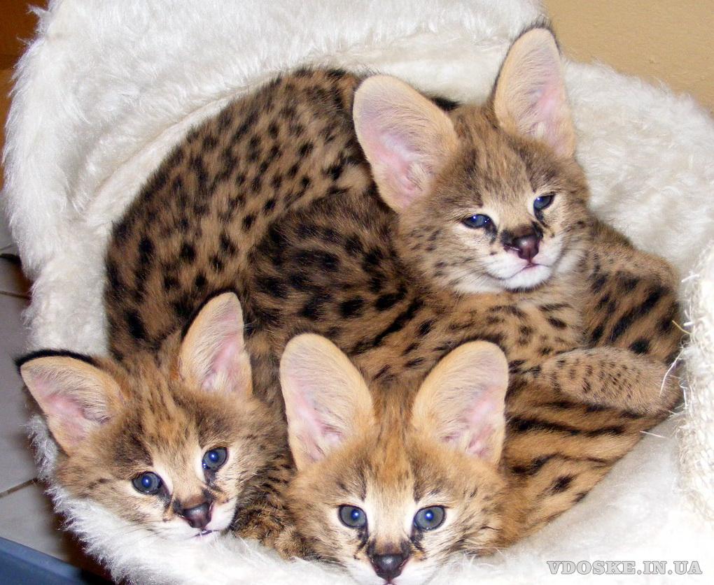 Сервал продам ручных котят