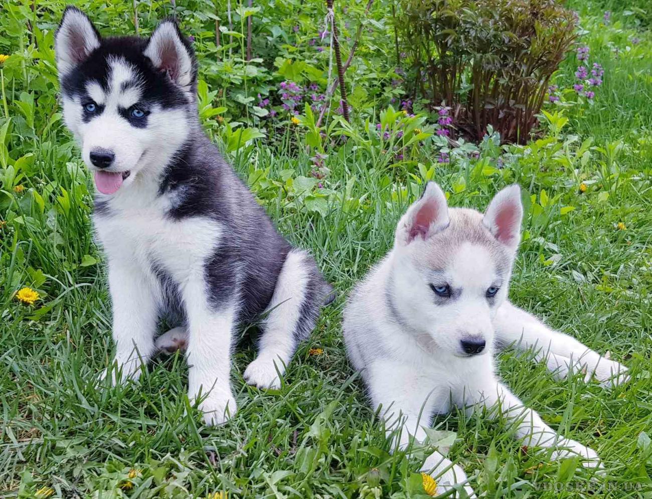 СИБИРСКИЕ ХАСКИ || Купить Девочку щенка Хаски в Харькове.