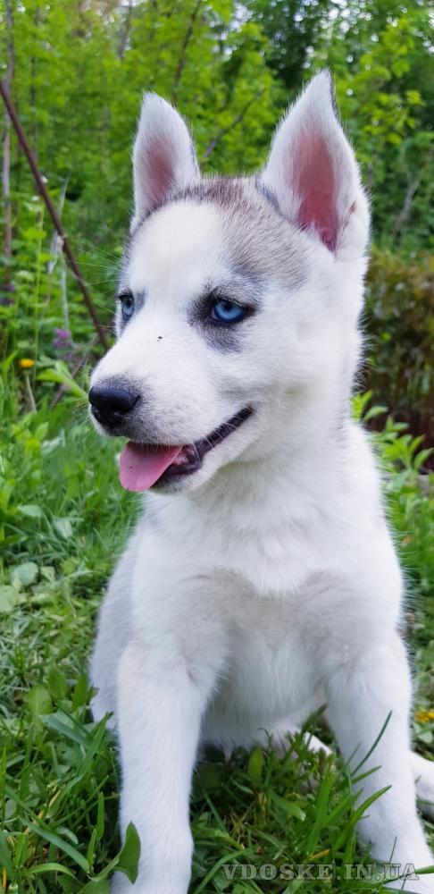 Купить щенка СИБИРСКОЙ ХАСКИ    щенок ХАСКИ (девочка) в Харькове.