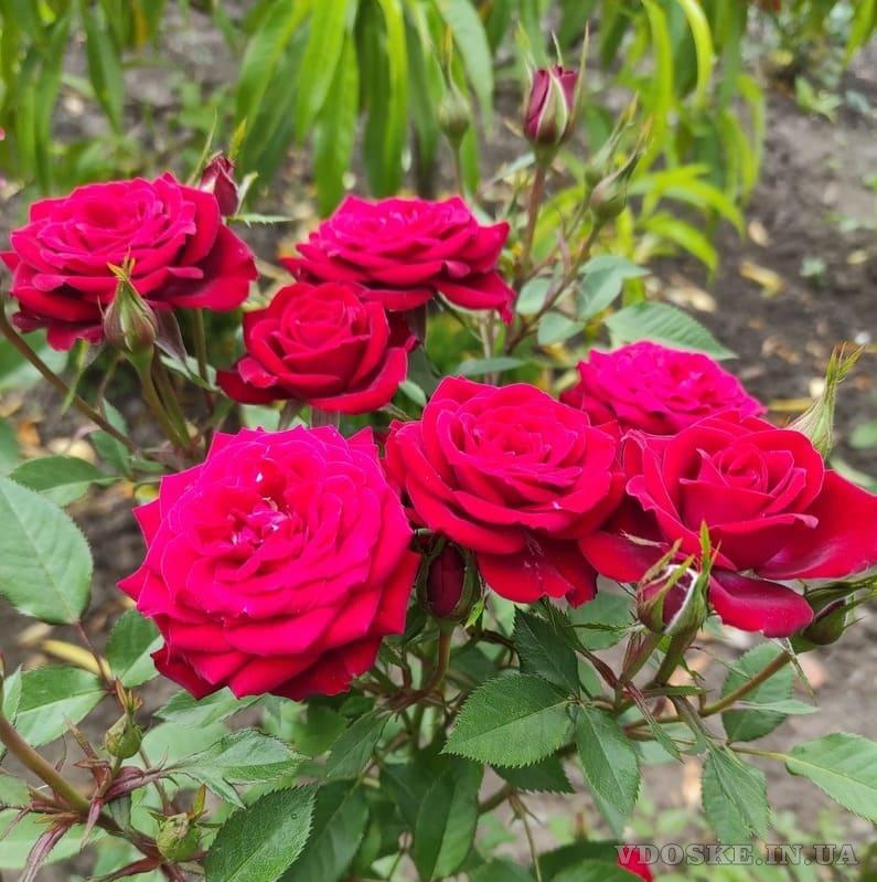 Штамбовая роза украшение для Вашего дома