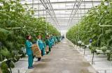 Робота в оранжереї. Нідерланди