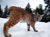 Продам котят Канадской рыси и Европейской рыси.