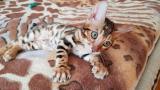 Бенгальская кошка. Бенгальские котята купить. Запорожье.