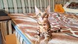Бенгальская кошка. Продажа котят бенгальской кошки.